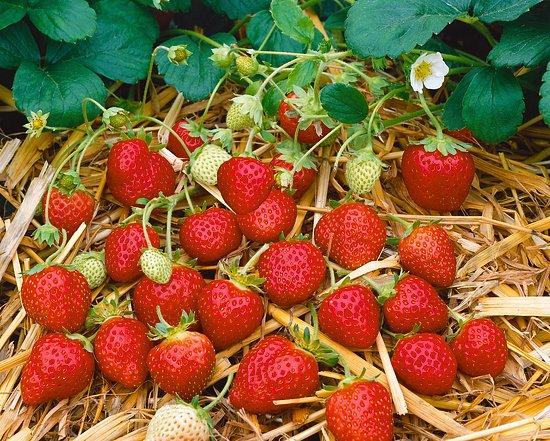 Způsoby výsadeb jahod