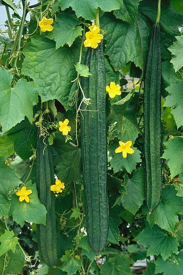 Zeleninové popínavky (Luffa)