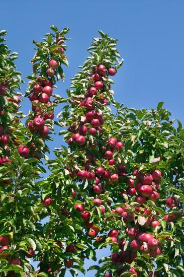 Co se vyplatí pěstovat v ovocným sadu?