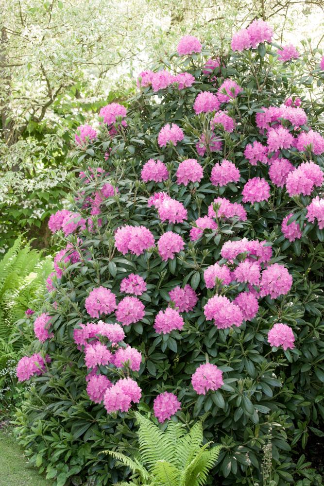 Pěstovaní rododendronů