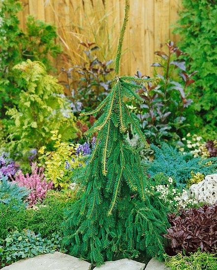 """Zajímavé dřeviny (Picea abies """"Inversa"""")"""