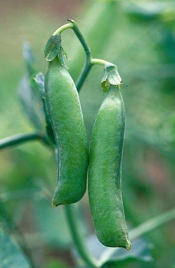 Popínavky ze semínka