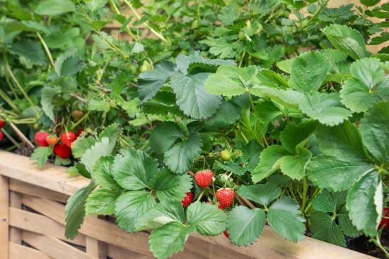 Pět tipů pro úspěšné pěstování jahod