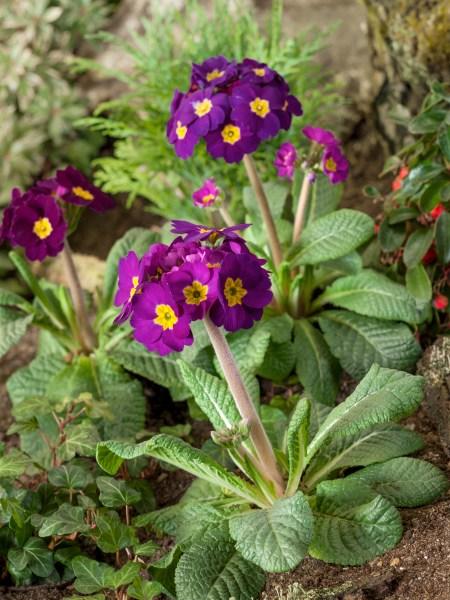 Jaro v plném proudu (Primula)