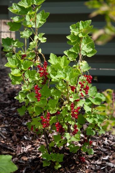 Drobné ovocné keře jako doplněk zahrady