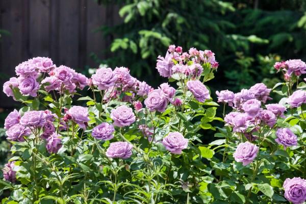 Růže na balkon a terasu