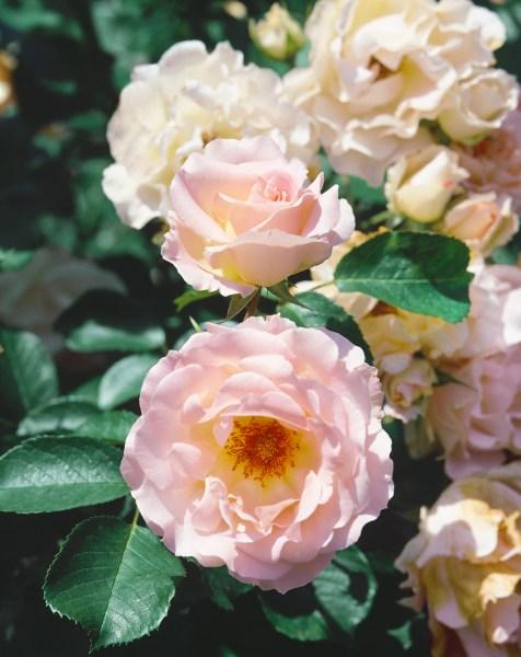 Pěstujeme růže (Rosa Rokoko)