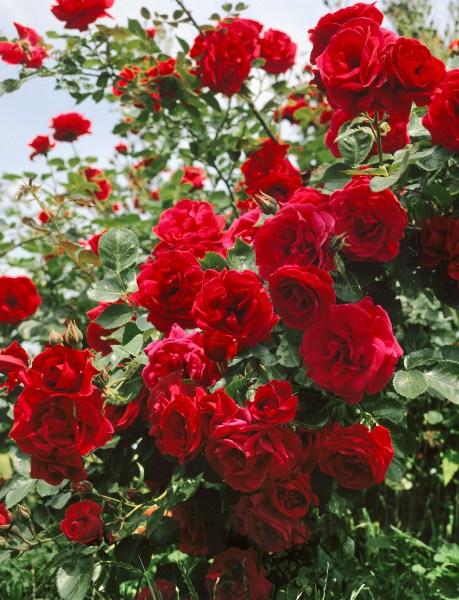 Jak na výsadbu růží?