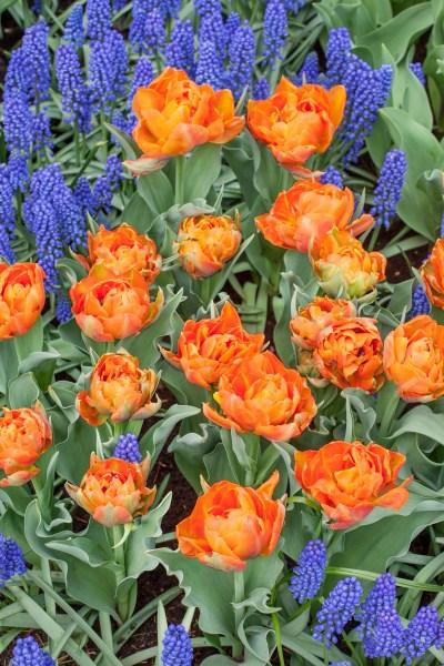 Cibuloviny přivítají jaro