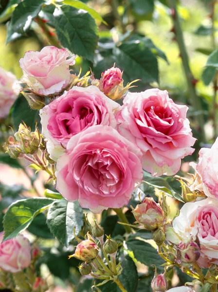 Výsadby růží