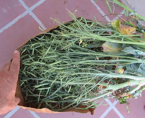 Sběr semen