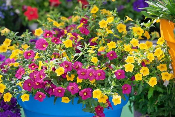 Minipetunie v květináči