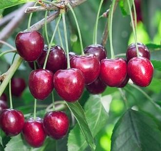 Ovocné stromy návod