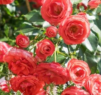 Růže návod